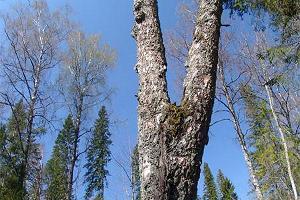 Kaheharuline puu