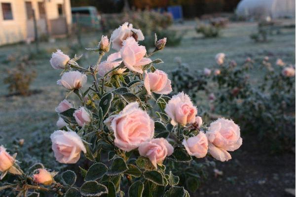 Roosoja gårds rosarium