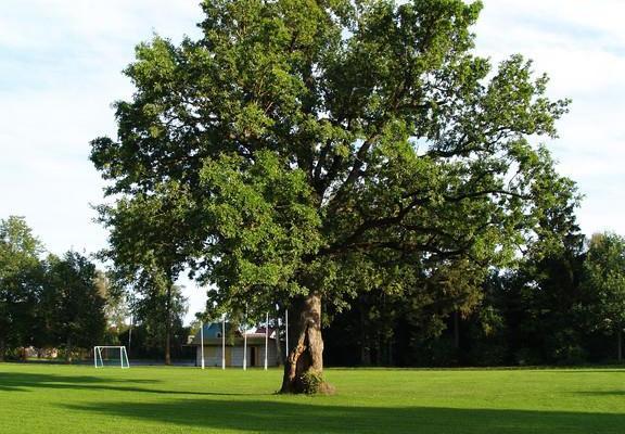 Orissaare staadioni tamm - Euroopa aasta puu 2015