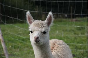 Alpakkatila Wile Alpaca Farm