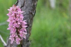 Orchideen-Tour auf der Insel Saaremaa