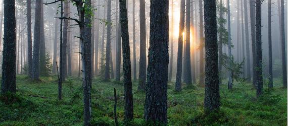 Die Geschichte des estnischen Waldes