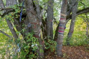 Ilumägi hill sacred lime tree