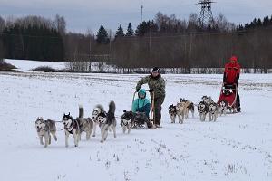 Sledding with Siberian Huskies