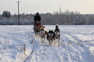 Поездка на санях с сибирскими хаски