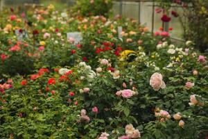 Põltsamaan ruusutarha