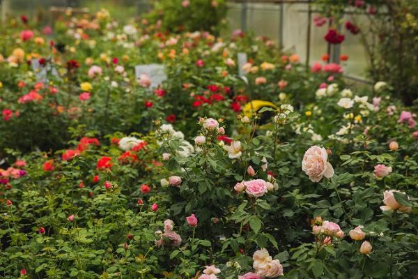 Der Rosengarten von Põltsamaa