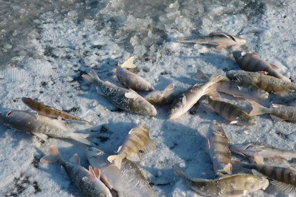 En fisketur med Kynös yrkesfiskare (på vintern med snöskoter)