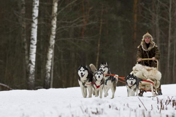 Dog sledging with huskies in the snowy Estonian forest.