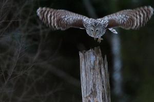 Birdwatching - Steller's Eider weekend scheduled tour