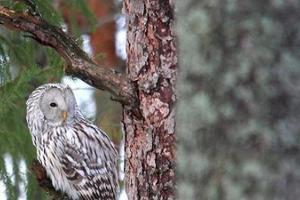 Spechte, Eulen und arktische Wintergäste - onrithologische Reise 8 Tage