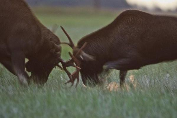 Brown Bears, The Elk Mating Game and Bird Migration