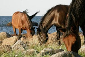 """Zirgu saimniecības """"Arma"""" izjāde ar zirgiem uz jūras piekrasti"""