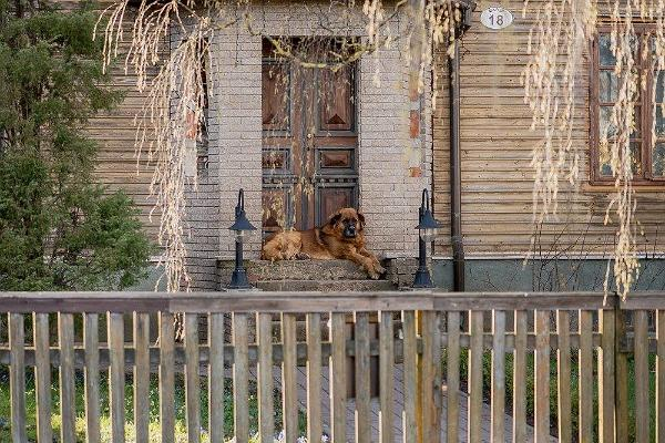 Supilinn – a district of wooden buildings with a wonderful milieu, a friendly dog lying on the stairs of a wooden house