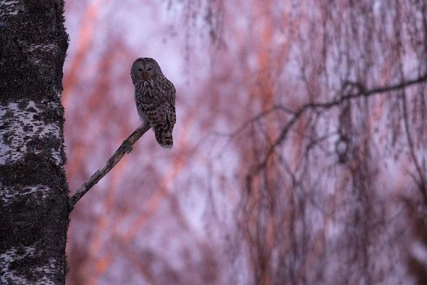 Steller's Eider weekend: self-guided birdwatching short break on Saaremaa