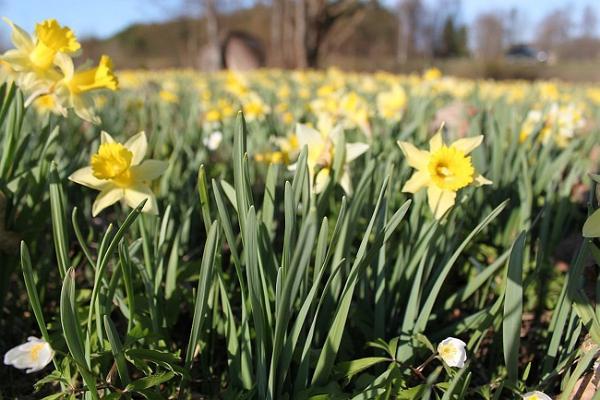 Sookalduse daffodil field