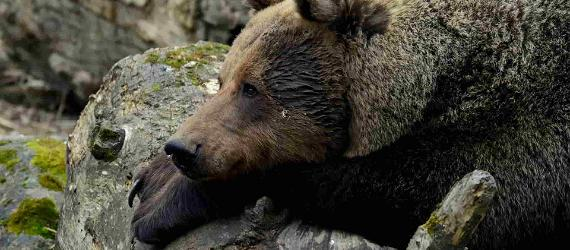 Places and tours for seeing brown bears in Estonia