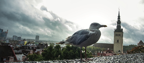 Steven the gull of Tallinn