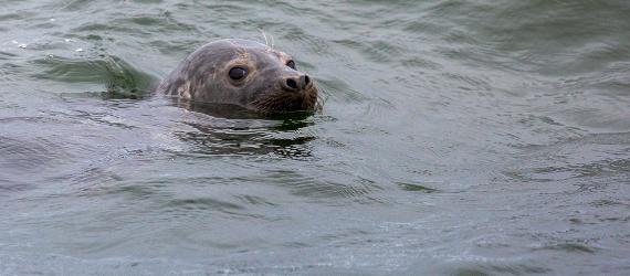 Robben vor der Küste Estlands beobachten