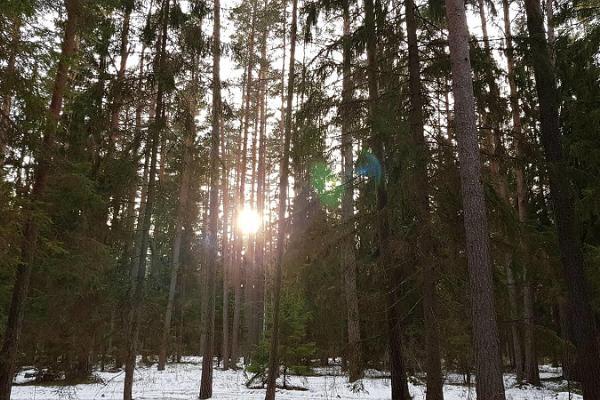 Väike Väerada (Lilla Kraftled) löper genom tall- och granskogen