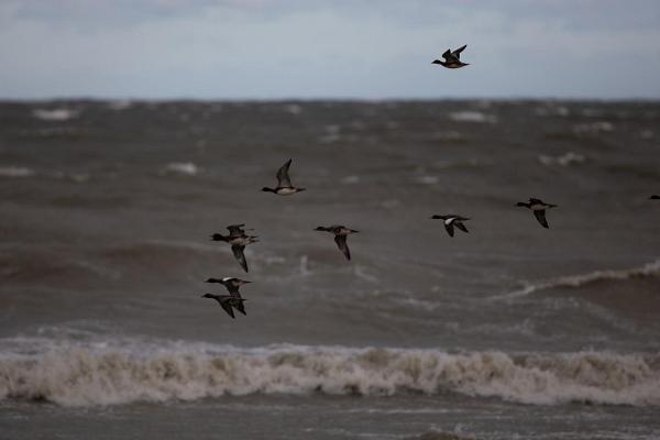 Vogelbeobachtung mit einem erfahrenen Begleiter an der westestnischen Küste