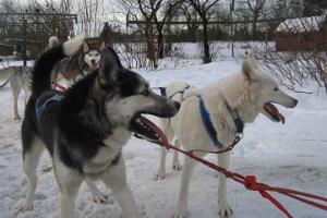 Поездка на собачей упряжке, запряженной хаски, с началом в Таллинне