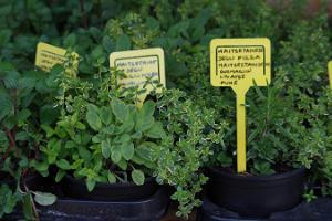 Freiluftmarkt in Tartu: Gewürzpflanzen im Topf