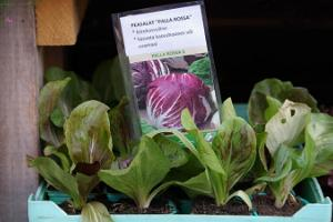 Freiluftmarkt in Tartu: Kopfsalatpflanzen