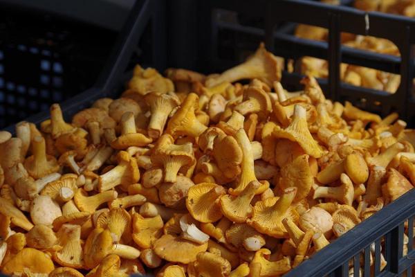 Freiluftmarkt in Tartu: goldgelbe Pfifferlinge warten auf den Käufer