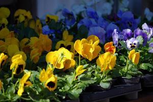 Freiluftmarkt in Tartu: blaue und gelbe Stiefmütterchen