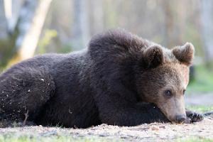 Karhujen tarkkailu Kõrvemaalla