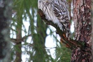 Ornithologische-zoologische Individualreise nach Estland