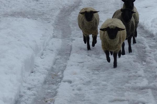Овцы Эстонского музея сельского хозяйства бегут по белому снегу.