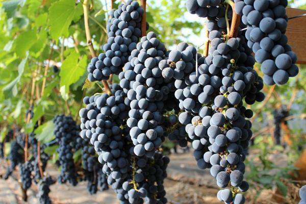 Järiste Veinitalu viinamarjaistanduse valminud viljad