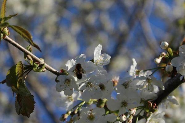 Järiste Veinitalu õitsev viljapuuaed kevadel