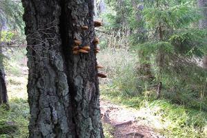 RMK Kīdjerves-Taevaskojas-Kīdejerves pārgājienu taka