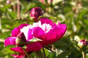 Saaremaa Peony Gardens – a romantic garden in the heart of the island