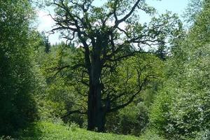 Mäe-Lõhtsuun tammi Urvastessa