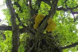 Mustahamba oak