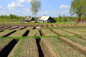 Kostja Sīpolu saimniecība