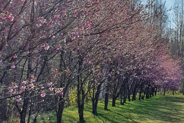 Türi õitsev kirsiallee