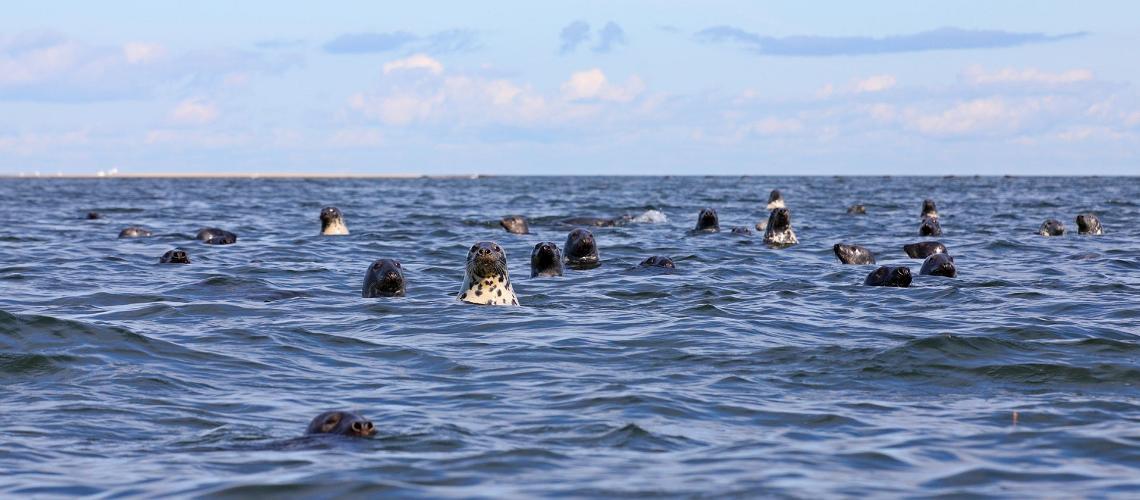 visit estonia, nature cameras, seal, grey seal, baltic sea