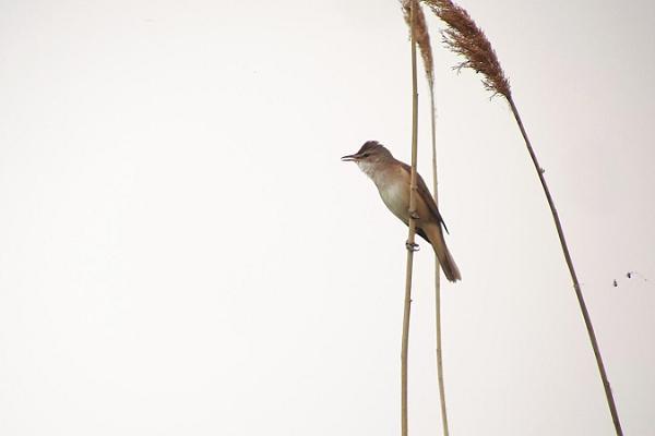 """Vogelbeobachtungsausflug """"Nächtliche Stimmen im Röhricht"""""""