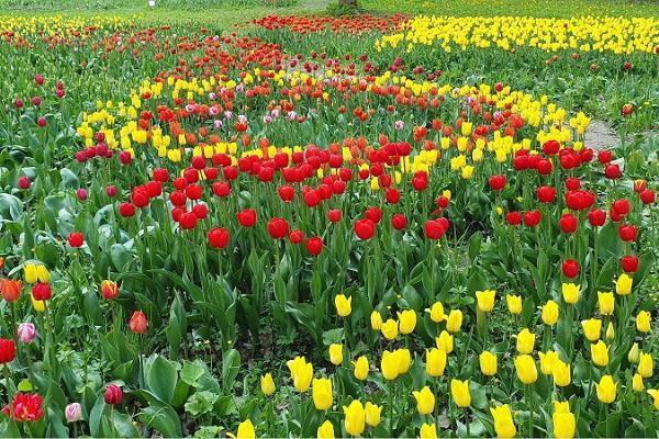 Tulips at Kirna Manor park