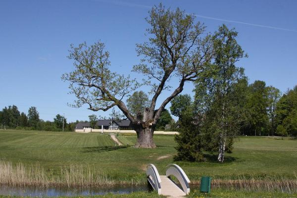 Pühajärve War Oak