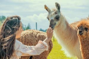 Alpakafarm - Eesti suurim alpakakasvatus!