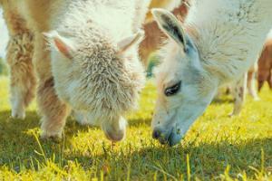 Alpaca farm – the largest in Estonia!
