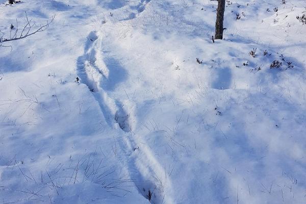 Ulukite jäljed lumes