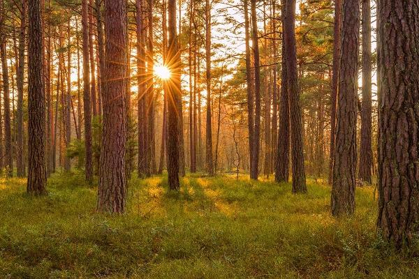 Alutaguse mets, puud