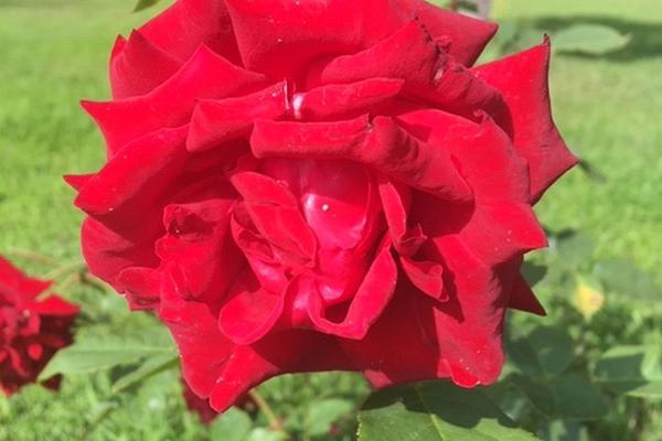 """Красная роза сорта """"Луунья"""" в розарии, расположенном в поселке Луунья"""